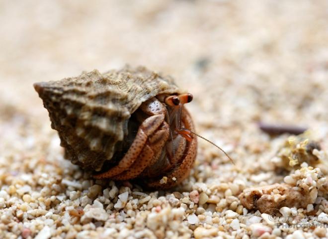 Bernard l'ermite (Pagurus bernhardus) – Jamaïque
