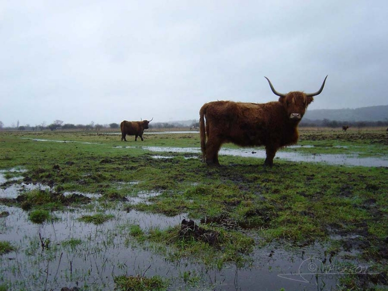 Highland Cattle du Marais Vernier / France