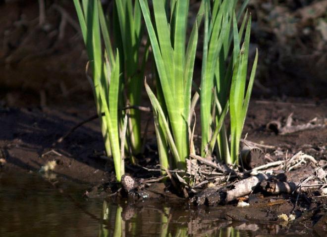 Iris des marais (Iris pseudacorus) – France