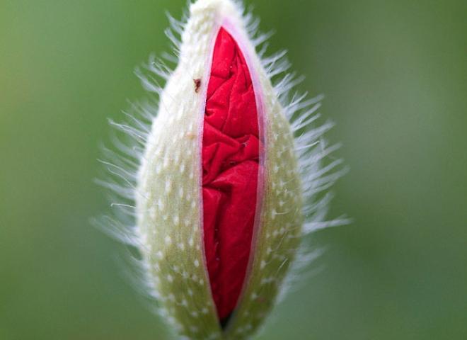 Coquelicot (Papaver rhoeas) – France