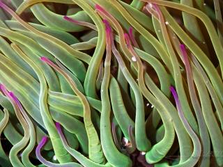 Anémone verte (Anemonia viridis) – France