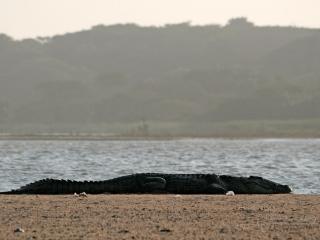 Farniente de crocodile – Afrique du Sud