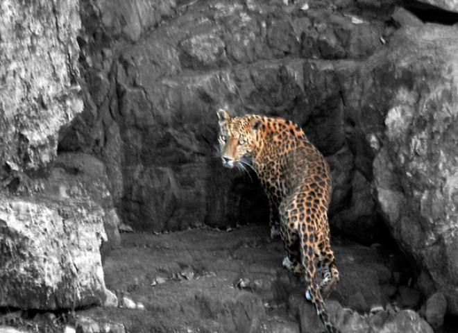 Léopard indien (Panthera pardus fusca) – Inde