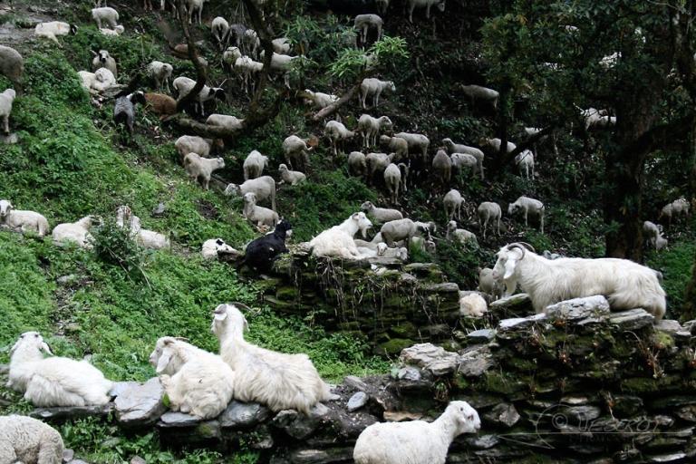 Troupeau de chèvres / Népal