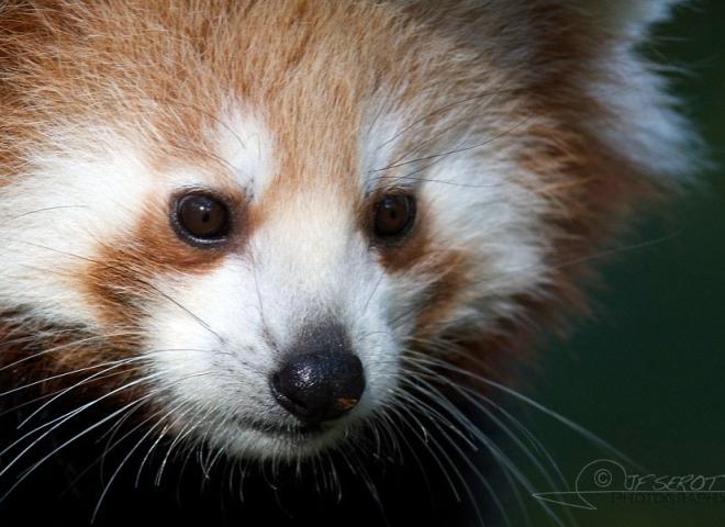Petit panda (Ailurus fulgens), zoo Boissière du Doré – France