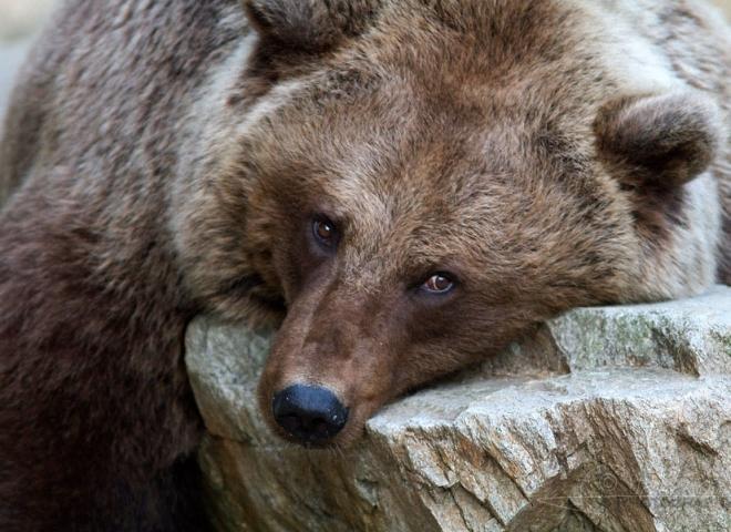 Ours brun (Ursus arctos), zoo Boissière du Doré – France