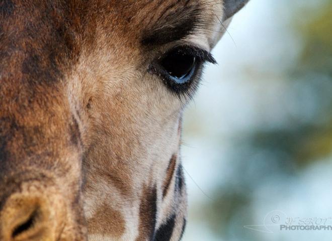 Girafe de Rothschild, zoo Boissière du Doré – France