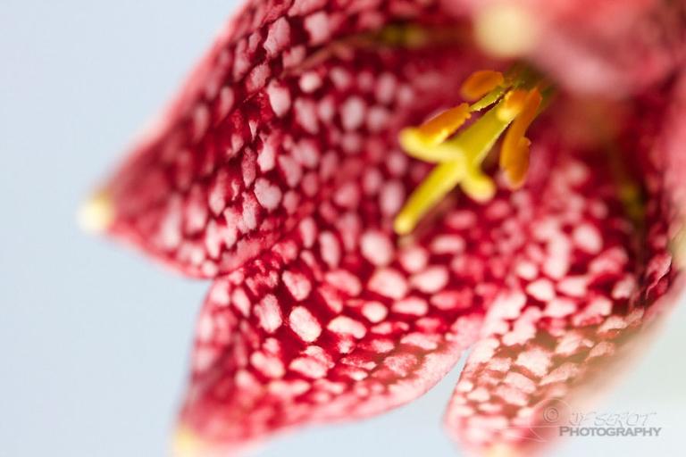 Fritillaire pintade (Fritillaria meleagris) – France