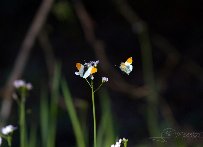 Aurore (Anthocharis cardamines) – France