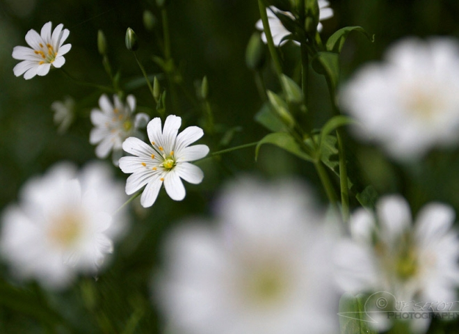 Stellaire holostée (Stellaria holostea) – France
