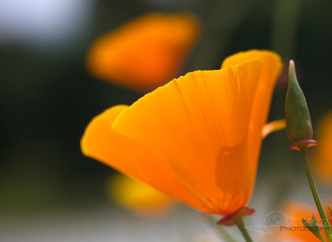 Pavot de Californie (Eschscholzia californica) – France