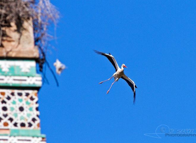 Cigogne blanche en approche – Maroc