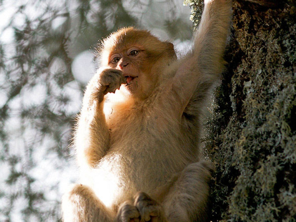 Lichens en plat principal, jeune macaque de Barbarie – Maroc