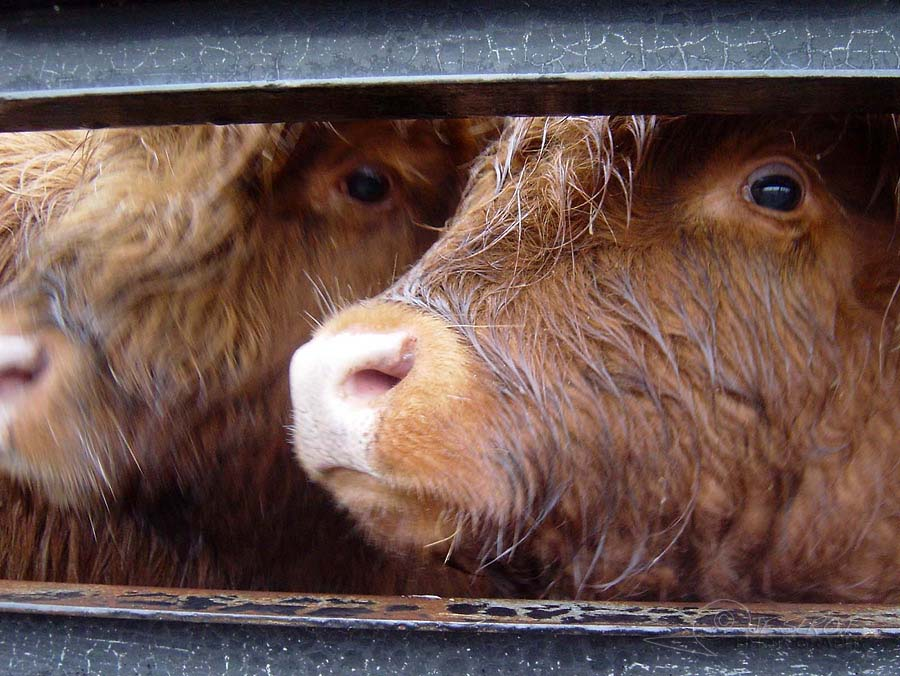 Highland Cattle 4 / 5