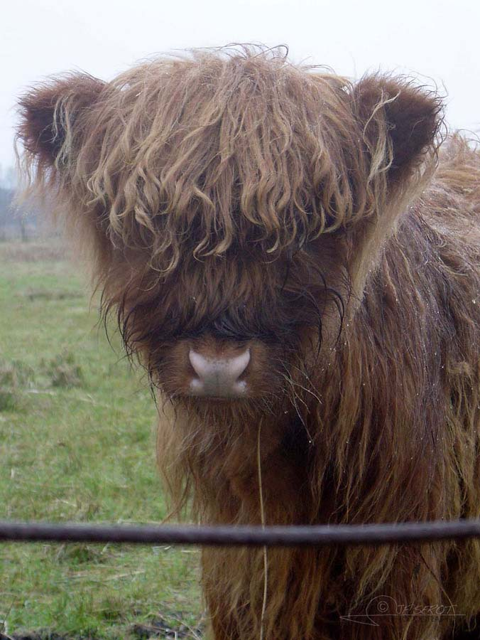 Highland Cattle 3 / 5