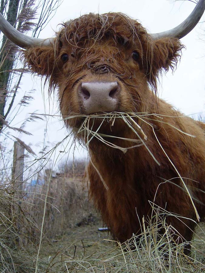 Highland Cattle 2 / 5