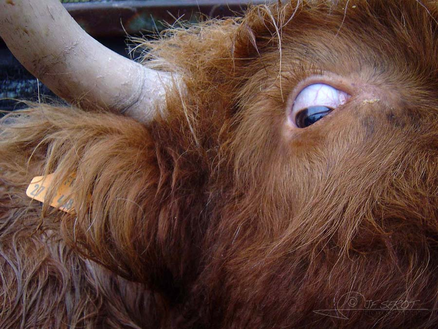 Highland Cattle 5 / 5