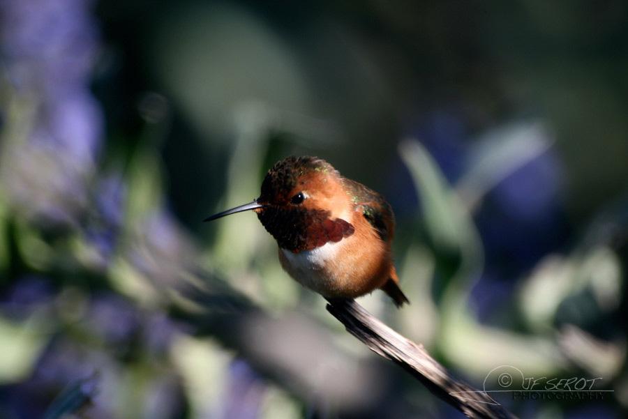 Allen's Hummingbird 3 / 5