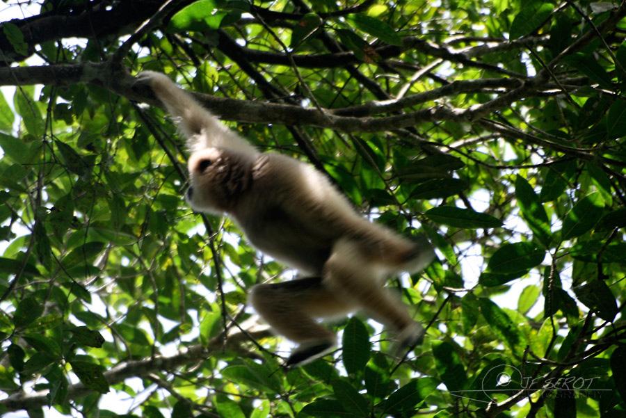 Gibbon à mains blanches 3 / 5